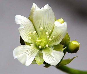 fiore dionea