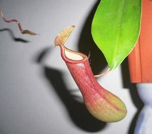 trappola nepenthes
