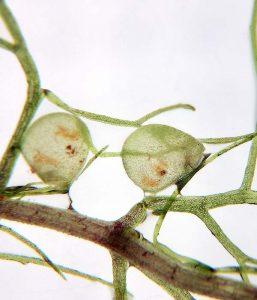 trappole utricularia